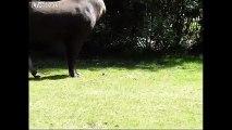Kaşınmak için devasa penisini kullanan tapir!