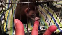 Baby Ferrets New Cage Set Up | Ferrets Update