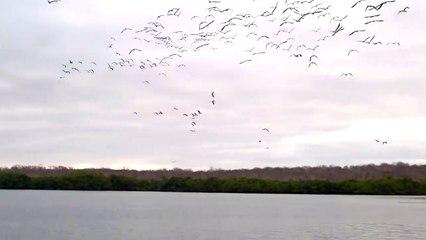 100 oiseaux plongent simultanément (Îles Galápagos)