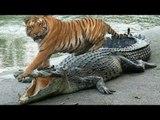 Tiger Attacks Crocodile vs Lion, Leopard,Buffalo, and Monkey