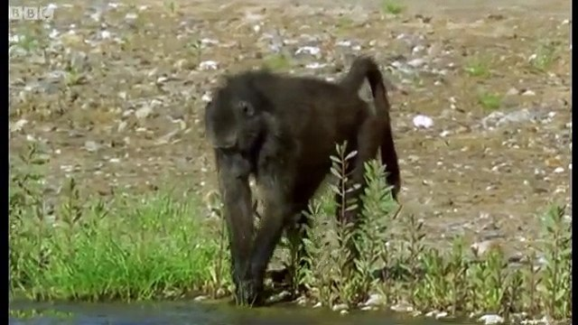 Hungry baboons hunting  Elephant Nomads of the Namib Desert BBC