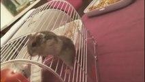 Un hamster aussi ça retombe sur ses pattes!