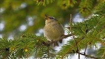 koyal bird singing Indian black cuckoo bird amazing sound