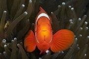 Tout savoir sur le poisson-clown