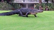Un alligator géant traverse tout les jours ce cours de golf en floride