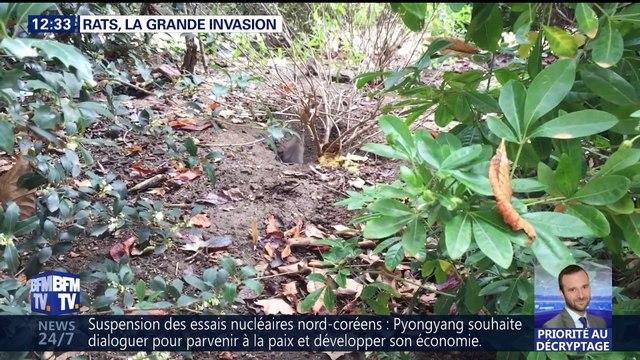 Rats, la grande invasion à Paris