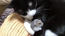 Ce hamster adorable dort entre les pates d'un chat