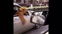 Un russe se promène en voiture avec un lion assis coté passager
