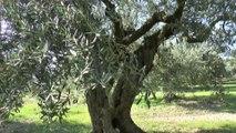Alpes-de-Haute-Provence : la taille de l'olivier à Volx c'est sacré !