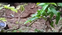 Most Amazing Wild Animal Attacks, Giant Anaconda vs pitbull,Giant