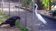 Cet aigle en cage va piéger un héron... En cage mais pas idiot le rapace