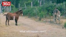 Beteja më epike që keni parë! Cjapi apo kanguri, shikoni se kush fiton (360video)