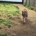 Les tigres c'est juste des très gros chats en fait...