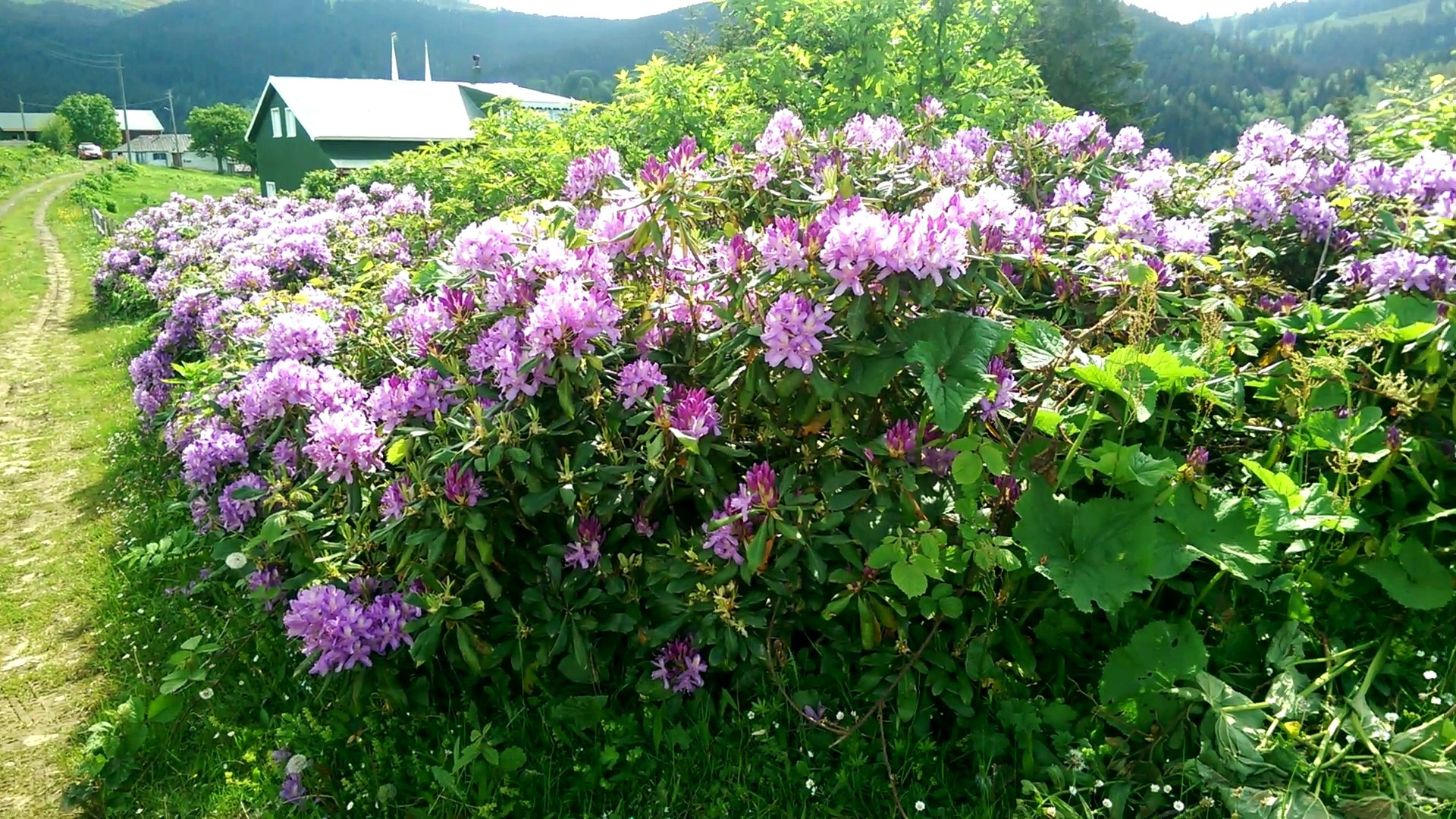 Mor Çiçekli Orman Gülüyle Beraber Yayla Manzarası (Komar Çiçeği) - Dailymotion Video