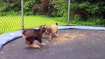 Quand des chèvres s'amusent sur un trampoline
