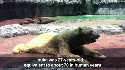 Inuka, first polar bear born in the tropics, is put down