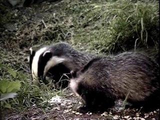 Badger Watching In Britain