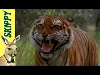 Skippy & The Tiger