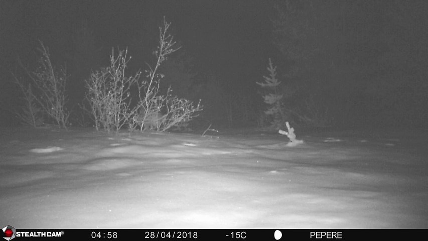 28-04-2018 - broceliande - loups