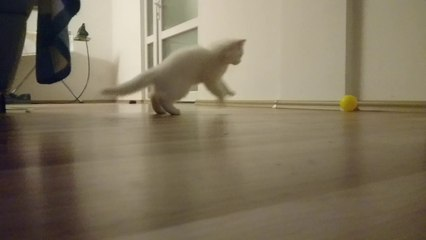 funny persian cat play ball -choku playing ball