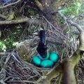 Regardez qui débarque dans le nid de cet oiseau. Incroyable