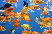 Tout savoir sur les poissons d'eau douce