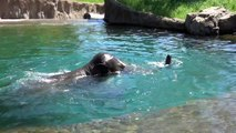 Elephant Samudra from the Oregon Zoo cools down by making a big splash and swimming in front of amazed visitors. Enjoying the water, Samudra stands and raises i