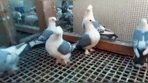 frill back pigeons( brown white & black white ) fancy pigeons cages / birds videos.
