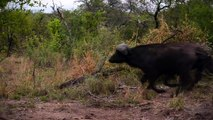 Lion Vs Buffalo Vs Hyena attack Buffalo - Most Amazing Hyena kill Buffalo brutal Fight