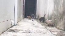 Sauts de chats impressionnants : des acrobates LOL