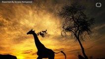 Giraffe Kills Filmmaker In South Africa