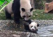 Mama Panda Struggles to Give Naughty Baby a Bath
