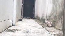 Ce chat très agile esquive tel un ninja trois autres chats sur son chemin