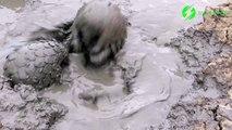 Ces 2 adorables pangolins jouent dans la boue... Trop mignon