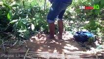 Amazing Quick Rabbit Trap Using Paiute Deadfall Trap & PVC