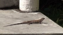 Living in Belize. Grand Baymen health club and lizard