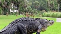 Un gros alligator dans un parcours de golf !