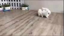 White Pomeranian Puppy - video dailymotion