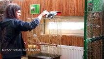 Pet Female African Gray Parrot Jako - Smart Bird
