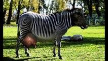 RAZAS DE VACAS QUE NO SABIAS QUE EXISTIAN – Las Vacas mas raras del mundo – Vaca Brava