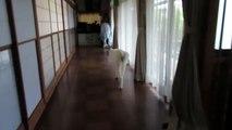 【秋田犬ゆうき】番犬としての自覚はあるが得意分野ではない【akita dog】