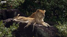 Mother Lioness Hunts Warthog   BBC Earth