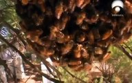 El mundo Animal Documental - ABEJAS ASESINAS | Abejas africanizadas