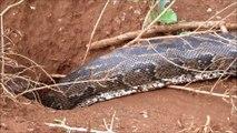 Regardez la taille de ce serpent Python... Presque 4m de long
