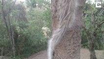 Des milliers de chenilles poilues grimpent à un arbre en file indienne
