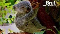 L'Australie veut sauver ses koalas et est prête à y mettre le prix