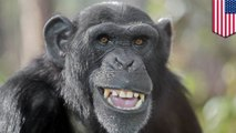 Chimpanzees have cleaner beds than humans