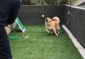 Clever Golden Retriever Catches Tennis Ball Hit by Golf Club