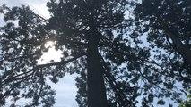 Combien mesure le séquoia du parc des Promenades