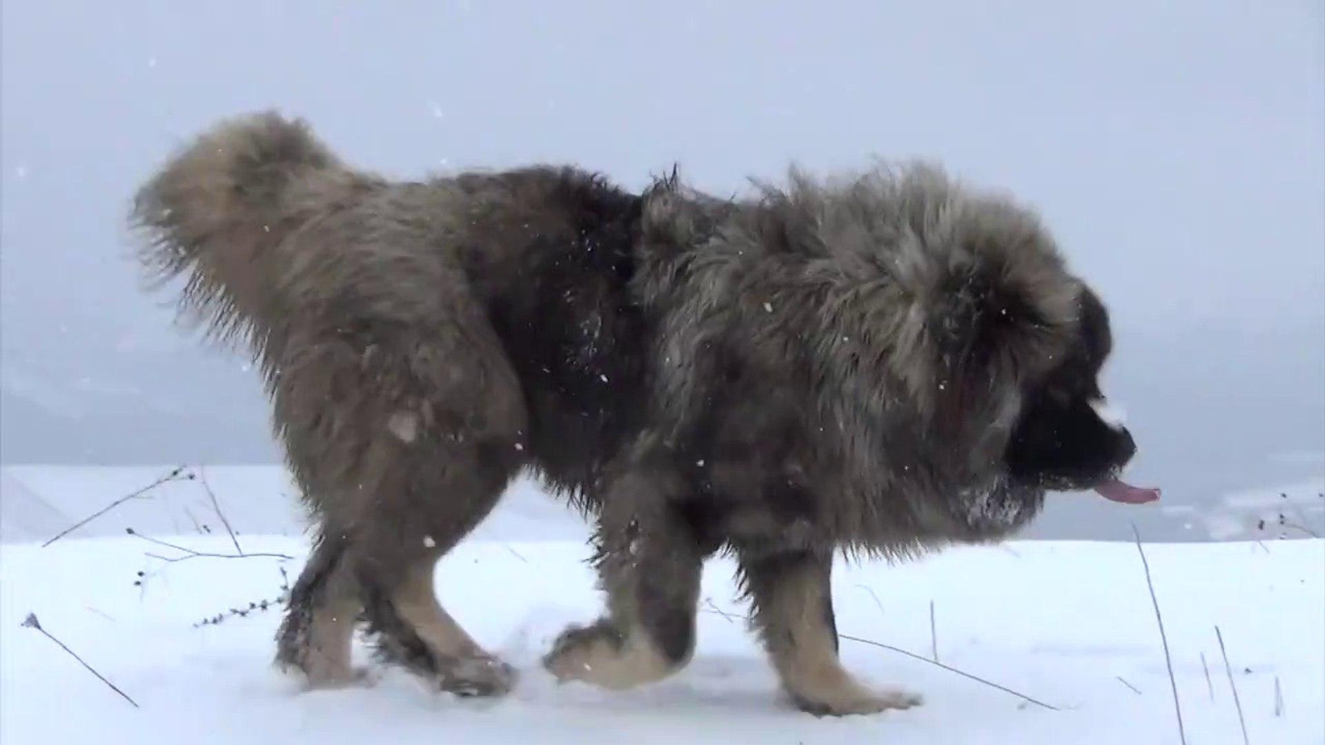 BAKIMLI VE DEGERLi KAFKAS COBAN KOPEGi - VERY WELL MAiNTAiNED CAUCASiAN SHEPHERD DOG